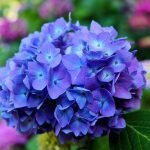 How to Get Blue and Purple Hydrangeas